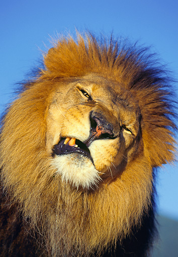 LNS 01 RK0036 24 © Kimball Stock Head Shot Of Lion Growling Blue Sky