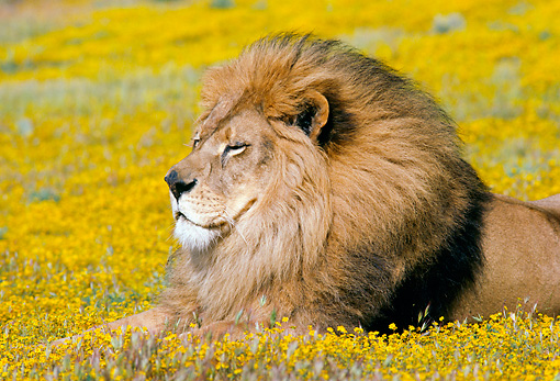 LNS 01 RK0053 03 © Kimball Stock Profile Head Shot Of Male Lion On Yellow Flower Field