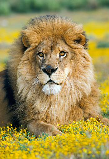 LNS 01 RK0056 27 © Kimball Stock Head Shot Of Male Lion Laying In Field Of Yellow Flowers