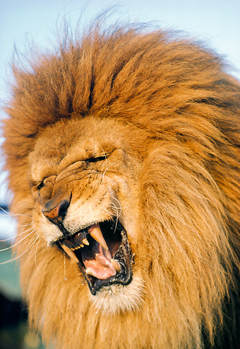 LNS 01 RK0074 08 © Kimball Stock Head Shot Of Lion Roaring Blue Sky