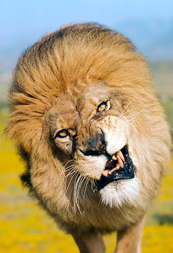 LNS 01 RK0075 03 © Kimball Stock Head Shot Of Lion Growling