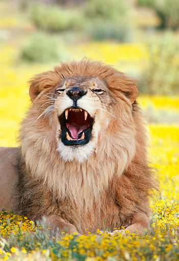 LNS 01 RK0076 01 © Kimball Stock Head Shot Of Male Lion Laying On Yellow Flower Field Yawning