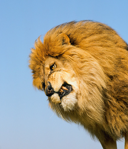 LNS 01 RK0078 02 © Kimball Stock Lion Snarling
