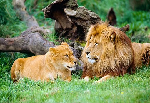 LNS 01 RK0083 01 © Kimball Stock Male And Female Lion Laying Together On Grass By Dead Tree Trunk
