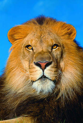 LNS 01 RK0164 04 © Kimball Stock Head Shot Of Male Lion Facing Camera Blue Sky Background