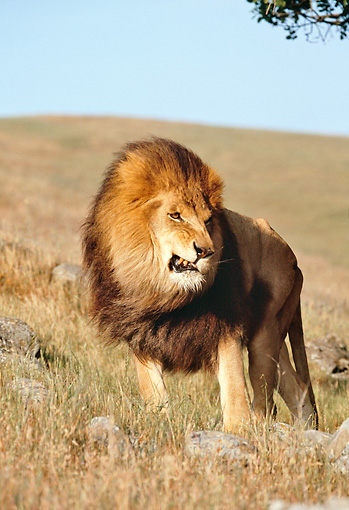 LNS 01 RK0209 01 © Kimball Stock Male Lion Standing On Grass Hill Blue Sky