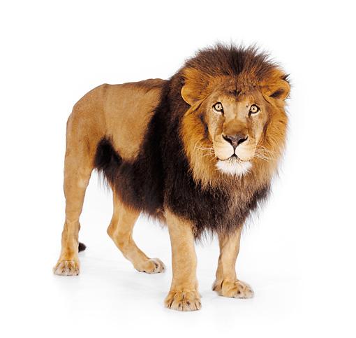 leo - Animal Stock Photos - Kimballstock