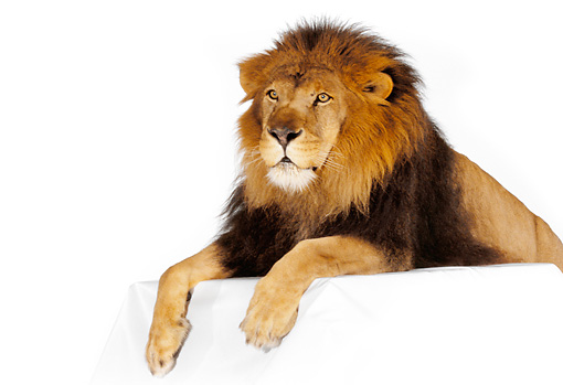 LNS 01 RK0263 15 © Kimball Stock Head Shot Of African Male Lion Laying On Box White Seamless