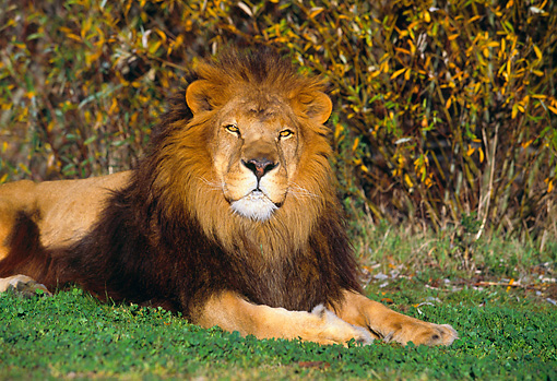 LNS 01 RK0278 13 © Kimball Stock Lion Laying On Grass