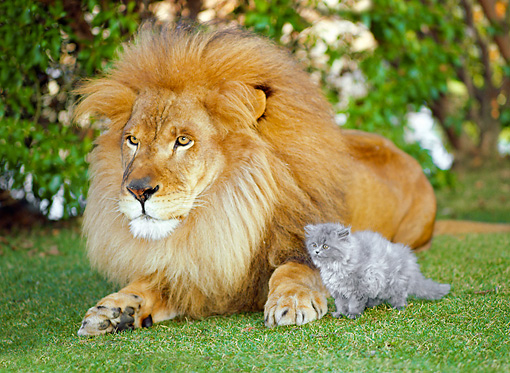 LNS 01 RK0299 16 © Kimball Stock Lion Laying With Gray Kitten On Grass With Shrub Background