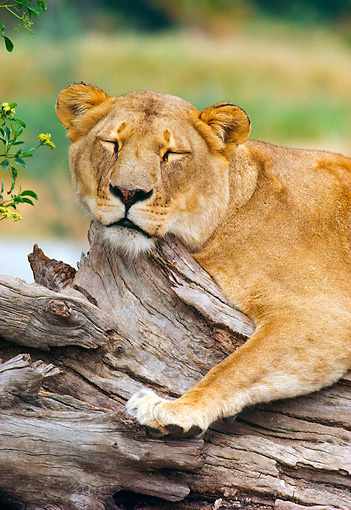 LNS 01 RK0301 02 © Kimball Stock Lioness Sleeping On Log