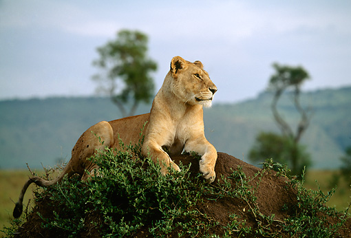 LNS 01 DB0002 01 © Kimball Stock Portrait Of Lioness Laying On Earth Mound Africa