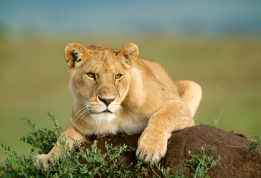 LNS 01 DB0003 01 © Kimball Stock Close Up Of Lioness Laying On Earth Mound Kenya