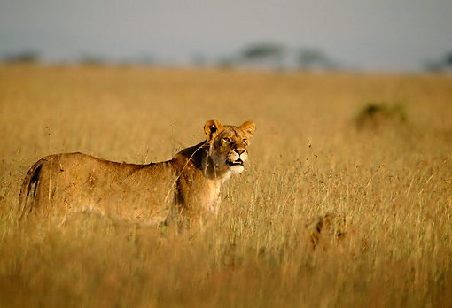 LNS 01 DB0004 01 © Kimball Stock Lioness Standing In Tall Grass Africa