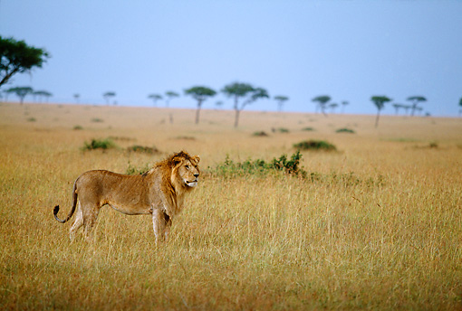 LNS 01 DB0005 01 © Kimball Stock Male Lion Standing In Tall Grass Africa