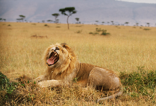 LNS 01 DB0006 01 © Kimball Stock Male Lion Roaring In Tall Grass Africa