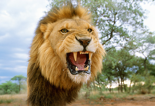 LNS 01 DB0007 01 © Kimball Stock Head Shot Of Male Lion Roaring Africa