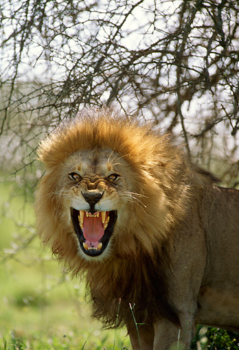 LNS 01 DB0008 01 © Kimball Stock Head Shot Of Male Lion Roaring Africa