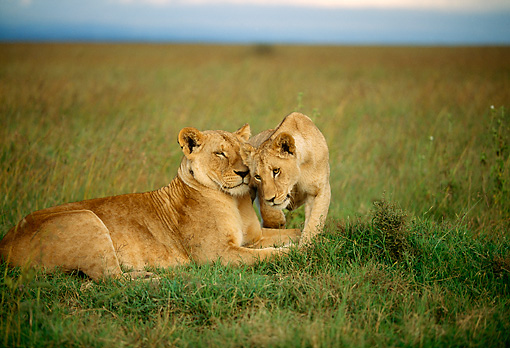 LNS 01 DB0010 01 © Kimball Stock Lioness Nuzzling Cub On Plains Kenya
