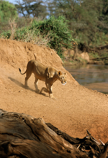 LNS 01 DB0013 01 © Kimball Stock Lioness Descending Dirt Bank To Watering Hole Africa