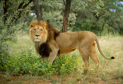 LNS 01 DB0016 01 © Kimball Stock Portrait Profile Of Male Lion Standing In Tall Grass By Trees Africa