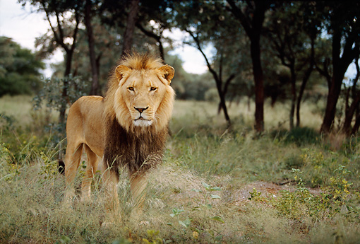LNS 01 DB0017 01 © Kimball Stock Portrait Of Male Lion Standing In Tall Grass By Trees Africa