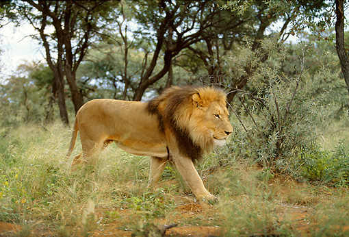 LNS 01 DB0018 01 © Kimball Stock Male Lion Walking In Scrub Near Trees Africa
