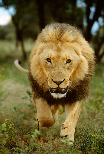 LNS 01 DB0020 01 © Kimball Stock Close Up Of African Male Lion Approaching Camera