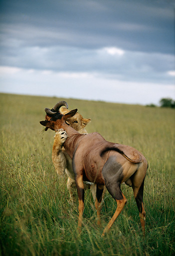 LNS 01 DB0021 01 © Kimball Stock Lioness Attacking Topi On Grassy Plain Africa
