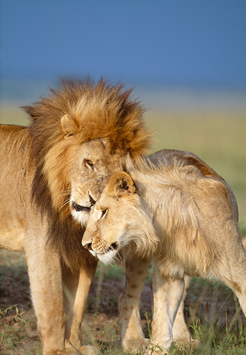 LNS 01 DB0022 01 © Kimball Stock Two African Lions Male And Female Nuzzling On Savanna