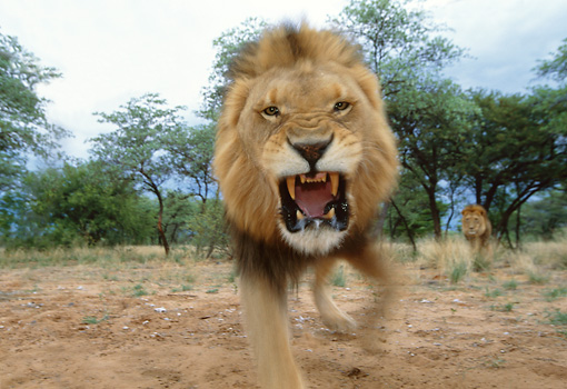 LNS 01 DB0024 01 © Kimball Stock Male African Lion Snarling Head On