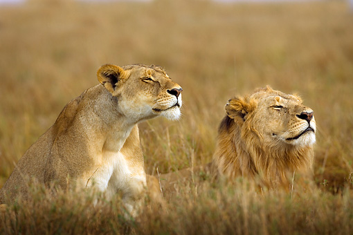 LNS 01 JZ0002 01 © Kimball Stock Male And Female African Lions Laying In Grass