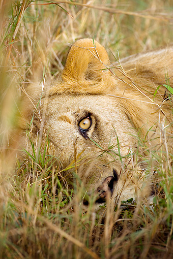 LNS 01 JZ0005 01 © Kimball Stock Head Shot Of Male African Lion Resting In Grass