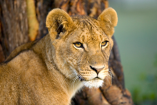 LNS 01 JZ0006 01 © Kimball Stock Head Shot Of Female African Lion Sitting By Tree