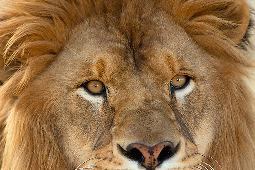 LNS 01 KH0001 01 © Kimball Stock Close-Up Of Male African Lion's Face