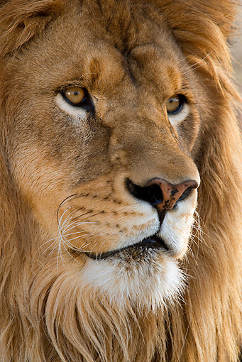 LNS 01 KH0002 01 © Kimball Stock Close-Up Of Male African Lion's Face