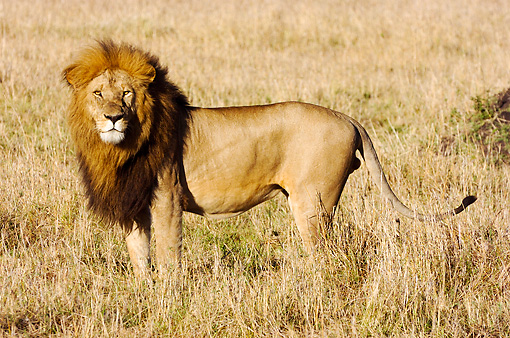 LNS 01 NE0003 01 © Kimball Stock African Male Lion Standing On Savanna Kenya