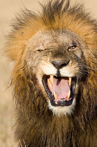 LNS 01 NE0006 01 © Kimball Stock Head Shot Of Male African Lion Roaring And Winking
