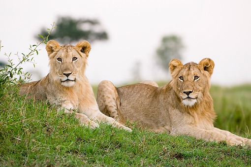 LNS 01 NE0007 01 © Kimball Stock Two Juvenile African Lions Laying On Grass Kenya