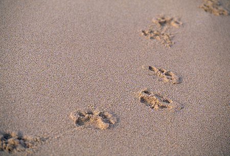 LNS 01 RK0039 01 © Kimball Stock Lion Paw Prints In Wet Sand At Beach