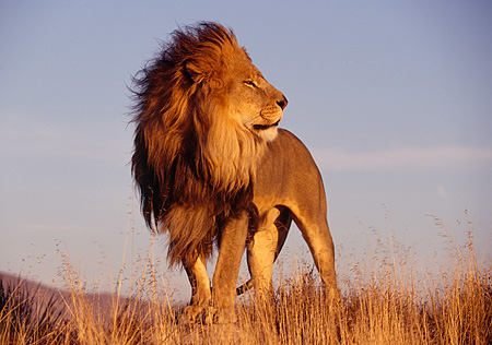 LNS 01 RK0107 01 © Kimball Stock Full Body Shot Of Male Lion Standing By Tall Dry Grass Looking Back Blue Sky At Dusk
