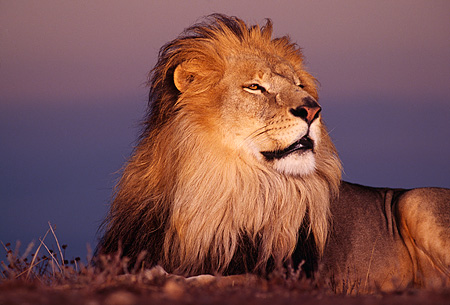 LNS 01 RK0113 02 © Kimball Stock Head Shot Of Male Lion Laying On Dirt Looking Away Sunset Background