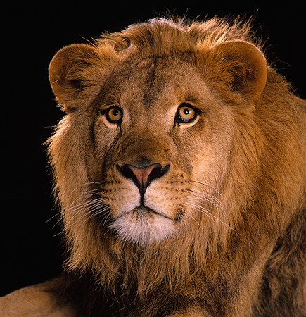 LNS 01 RK0153 02 © Kimball Stock Head Shot Of Lion Facing Camera Studio Background