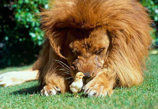 LNS 01 RK0162 06 © Kimball Stock Close Up Head Shot Of Male Lion Laying On Grass With Baby Chick