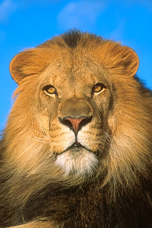 LNS 01 RK0164 03 © Kimball Stock Head Shot Of Male Lion Facing Camera Blue Sky Background