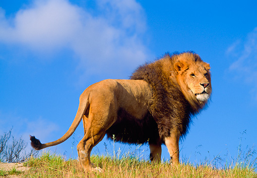 LNS 01 RK0171 04 © Kimball Stock Full Body Shot Of Male Lion Walking Up On Grass Hill Blue Sky