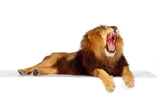 LNS 01 RK0243 01 © Kimball Stock African Male Lion Laying On Box Yawning Mouth Open On White Seamless