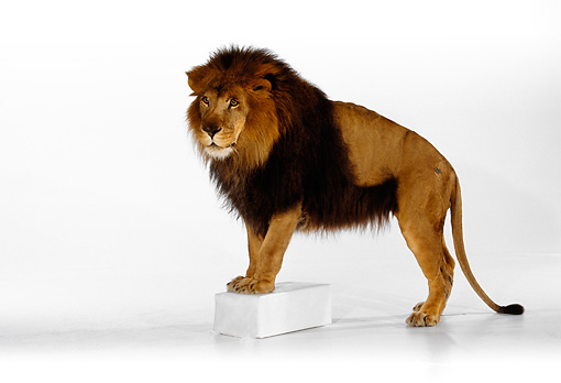LNS 01 RK0248 05 © Kimball Stock African Male Lion Standing  White Seamless