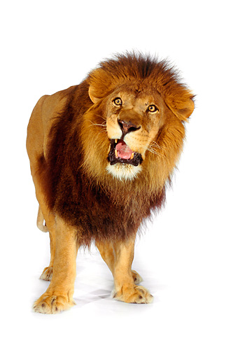 LNS 01 RK0249 13 © Kimball Stock African Male Lion Standing On White Seamless