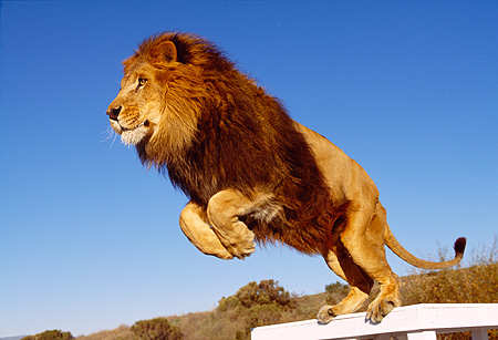 LNS 01 RK0269 16 © Kimball Stock African Lion On Hind Legs Ready To Jump
